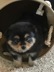 Pomeranian Puppy For Sale in JESUP, GA, USA