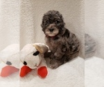 Small #7 Goldendoodle-Sheepadoodle Mix