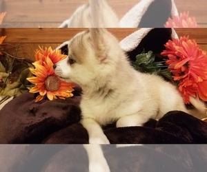 Pomsky Puppy for Sale in CENTRALIA, Missouri USA
