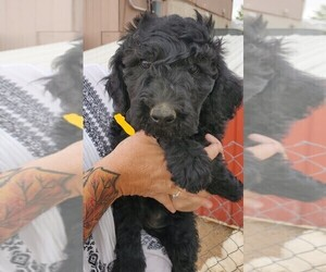 Schnoodle (Giant) Puppy for sale in FOUNTAIN, CO, USA