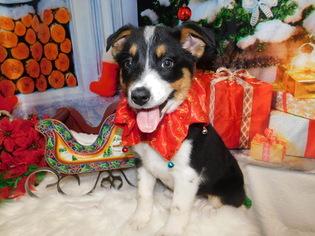 Blue Healer  border collie Mix Puppy For Sale in HAMMOND, IN, USA