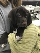 German Shorthaired Pointer Puppy For Sale in MANCHESTER, IA, USA