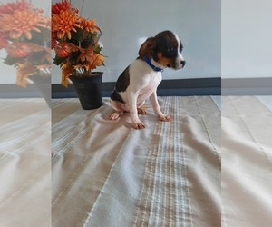 Cavalier King Charles Spaniel-Rat Terrier Mix Puppy for Sale in SHIPSHEWANA, Indiana USA