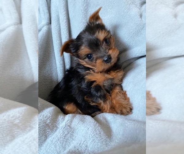 Medium Photo #6 Yorkshire Terrier Puppy For Sale in KLEIN, TX, USA