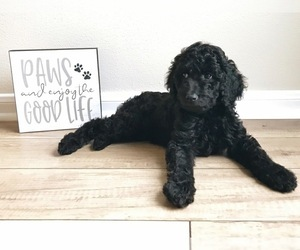 Goldendoodle Puppy for sale in FRIENDSWOOD, TX, USA