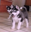 Siberian Husky Puppy For Sale in LOS ANGELES, CA