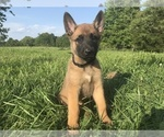 TRAINED FULL REGISTERED BELGIAN MALINOIS PUPPIES
