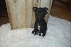 Yorkie-Poo-Yorkiepoo Mix Puppy For Sale in HONEY BROOK, PA, USA