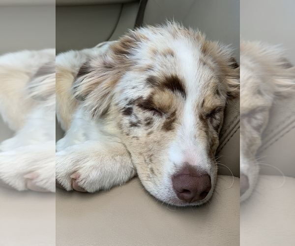 Medium Photo #5 Australian Shepherd Puppy For Sale in SPOKANE, WA, USA