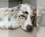 Small Photo #5 Australian Shepherd Puppy For Sale in SPOKANE, WA, USA