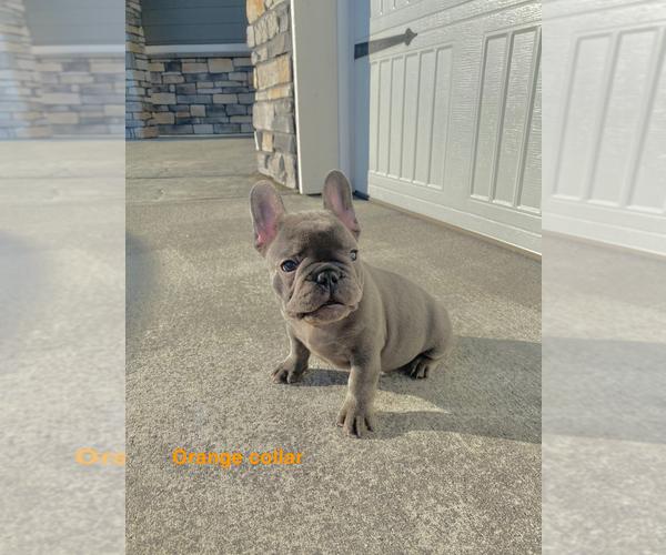 Medium Photo #9 French Bulldog Puppy For Sale in CLACKAMAS, OR, USA