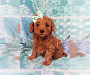 Cavapoo Puppy for Sale in LANCASTER, Pennsylvania USA