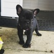 French Bulldog Puppy For Sale in NEW CASTLE, PA, USA