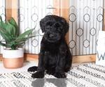 Benny Spunky Male AKC Giant Schnauzer Puppy