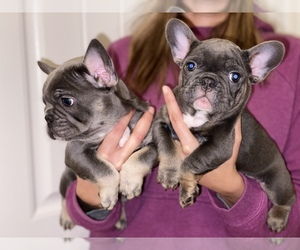 French Bulldog Puppy for Sale in BAKERSFIELD, California USA