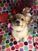 Pembroke Welsh Corgi Puppy For Sale in BEMIDJI, MN, USA