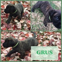 Mastiff Puppy For Sale near 64012, Belton, MO, USA