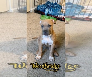 American Bully Puppy for sale in WDBG, VA, USA