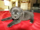Pug Puppy For Sale in HUDSON, MI, USA