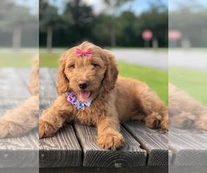 Goldendoodle Puppy for Sale in KISSIMMEE, Florida USA