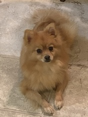 Pomeranian Puppy for sale in BRENTWOOD, NC, USA