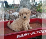 Puppy 0 Goldendoodle-Poodle (Miniature) Mix