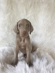 Weimaraner Puppy For Sale in KILLBUCK, OH, USA