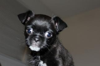 Pug-A-Poo Puppy For Sale in ARROYO GRANDE, CA