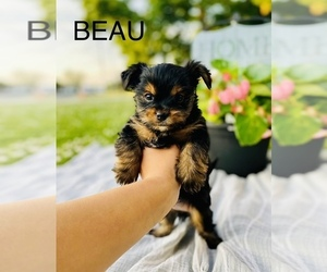 Shorkie Tzu Puppy for sale in COOKEVILLE, TN, USA