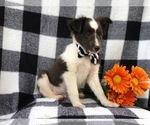 Small #9 Shetland Sheepdog
