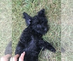 Small #5 Poodle (Toy)-Yorkshire Terrier Mix