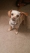 Cute and Playful Chiweenie Puppy for Sale