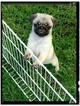 Pug Puppy For Sale in LELAND, NC, USA