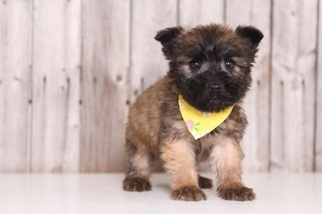 View Ad Soft Coated Wheaten Terrier Puppy For Near