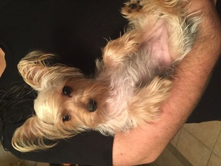 Silky Terrier Puppy For Sale in JACKSONVILLE, FL