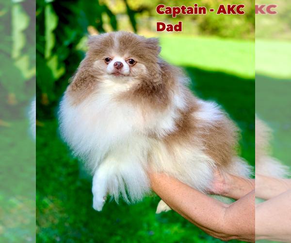 Medium Photo #9 Shih Tzu Puppy For Sale in BUFORD, GA, USA