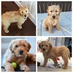 Goldendoodle Puppy For Sale in COPPELL, TX