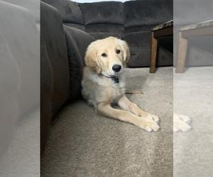 Golden Retriever Puppy for sale in EAGAN, MN, USA