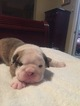 English Bulldog Puppy For Sale in HILLSBORO, North Carolina,