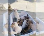 Small Photo #13 French Bulldog Puppy For Sale in SAN DIEGO, CA, USA