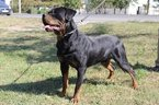 Rottweiler Puppy For Sale in NORTH OCEAN CITY, Maryland,