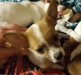 Chihuahua Puppy For Sale in SIOUX FALLS, SD, USA