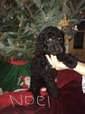Small Photo #2 Poodle (Standard) Puppy For Sale in TRYON, NC, USA