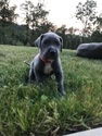 Great Dane Puppy For Sale in EUGENE, OR, USA