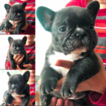 French Bulldog Puppy For Sale in RANCHO CUCAMONGA, CA, USA