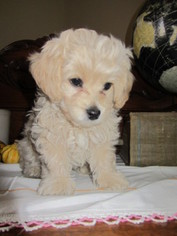 Cockapoo Puppy For Sale in NEWMANSTOWN, PA