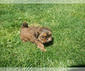 Shih Tzu Puppy for sale in CENTRAL POINT, OR, USA