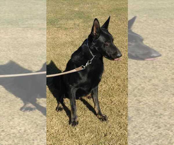 Medium Photo #5 German Shepherd Dog Puppy For Sale in EL CENTRO, CA, USA