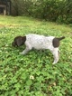 German Shorthaired Pointer Puppy For Sale in STILLWATER, Oklahoma,