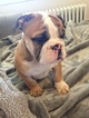 Bulldog Puppy For Sale in ARLINGTON, VA